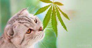 cbd cat