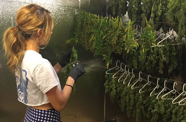 Importance of Drying and Curing Cannabis