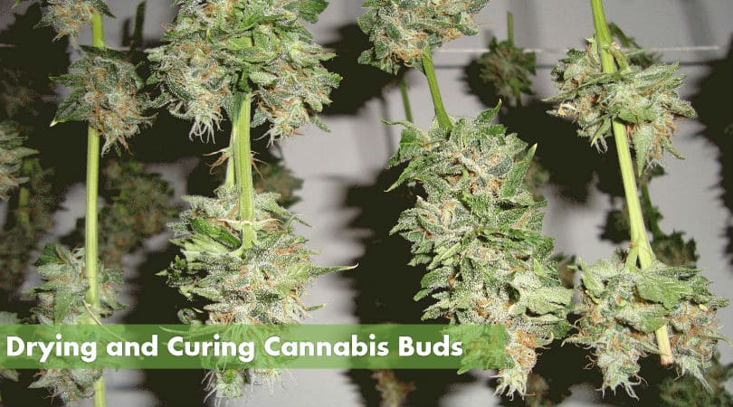 curing cannabis buds